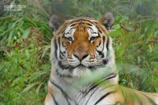 Tiger Aljoscha mit Grün umringt