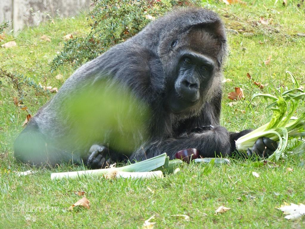 Gorilla FATOU - Zoo Berlin - 2014