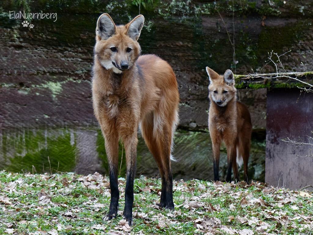 Tierischer Mischmasch - Mähnenwölfe MESUE + CHACO - Tiergarten Nürnberg - 21.03.2017