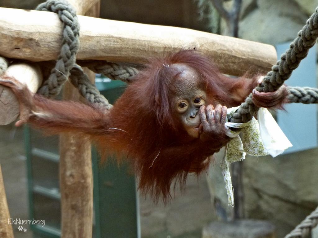 Orang Utan SURYA - Zoo Rostock - 29.09.2015 - 3