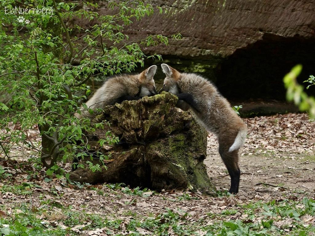 Mähnenwolfschwestern - PUNA + IRUYA - Tiergarten Nürnberg - 12.04.17