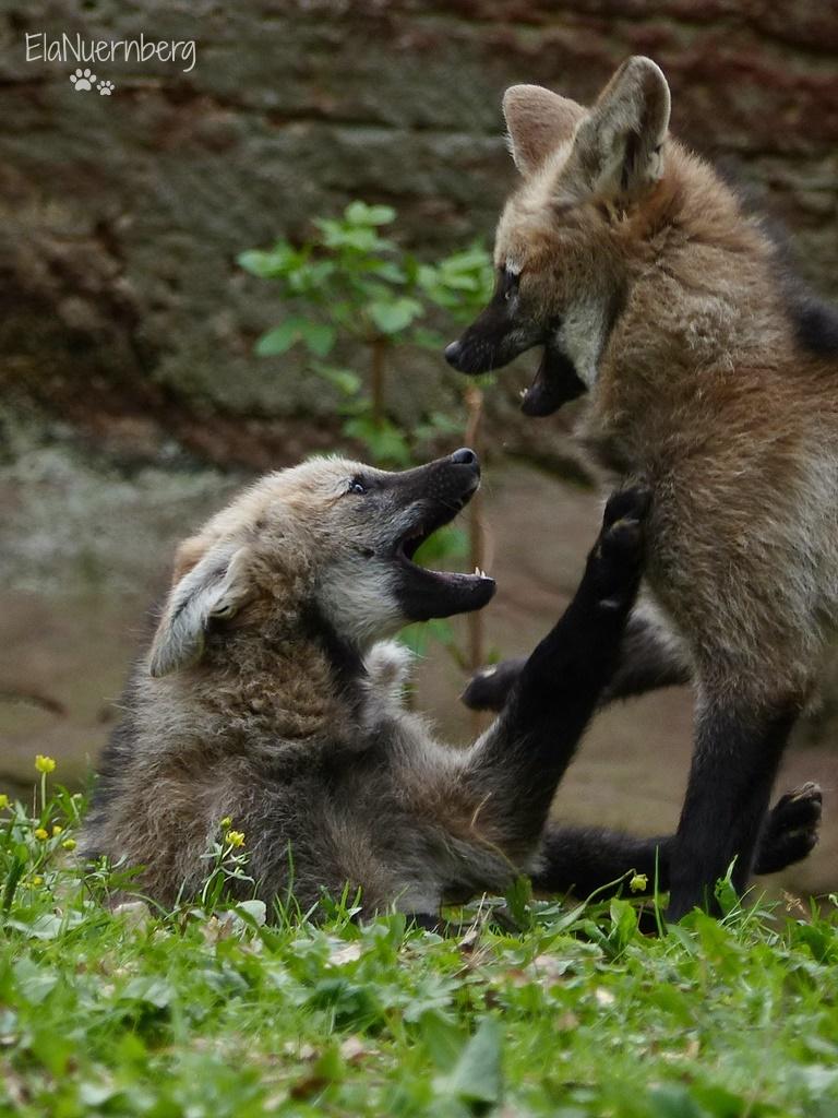 Mähnenwolfschwestern - PUNA + IRUYA - Mähnenwolfgeschwister - Tiergarten Nürnberg - 12.04.2017